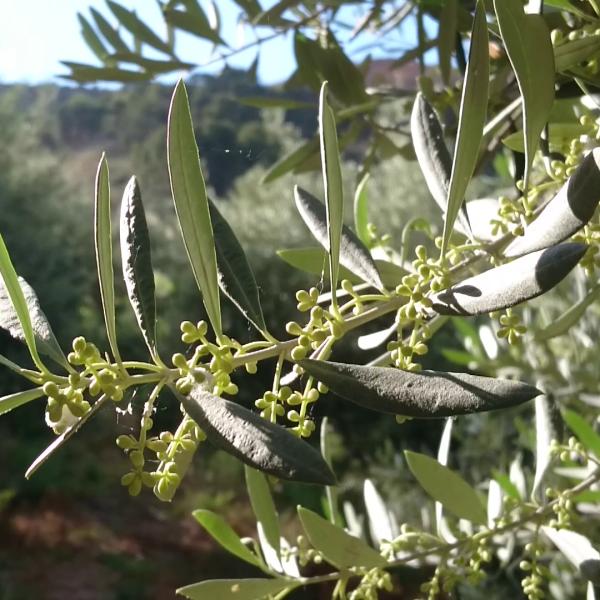 Olivenlaub
